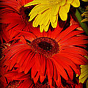 Red And Yellow Glory - The Flowers Of Summer - Gerbera Daisies Poster