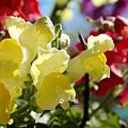 Red And Yellow Snapdragons II Poster by Aya Murrells