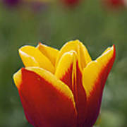 Red And Yellow Tulip Closeup Poster