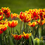 Red And Yellow Tulips II Poster