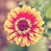 Red And Yellow Zinnia II Poster