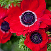 Red Anemone. Flowers Of Holland Poster