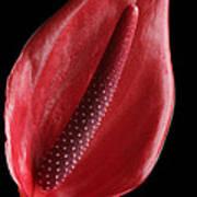 Red Anthurium #3 Poster