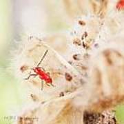 Red Aphid Seed Pod Poster