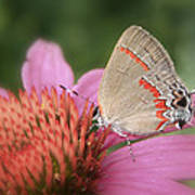 Red Banded Hairstreak Poster