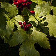 Red Baneberry   #8955 Poster
