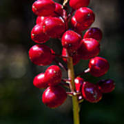 Red Baneberry   #8986 Poster