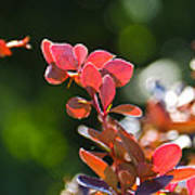 Red Barberry Poster