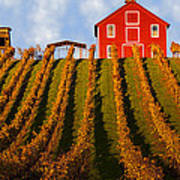 Red Barn In Autumn Vineyards Poster