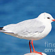 Red-beaked Seagull Resting On The Port Poster