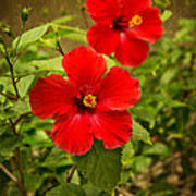 Red - Beautiful Hibiscus Flowers In Bloom On The Island Of Maui. Poster