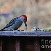 Red Bellied Woodpecker 2 Poster