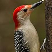 Red-bellied Woodpecker Poster