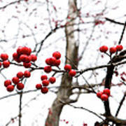 Red Berry Sprig Poster