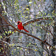 Red Bird In Dogwood Poster