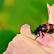 Red Blister Beetle Poster