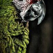Red Browed Amazon Parrot Poster