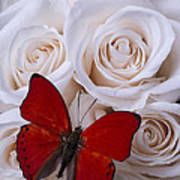 Red Butterfly Among White Roses Poster