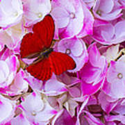 Red Butterfly On Hydrangea Poster