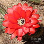 Red Cactus Flower Square Poster