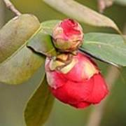 Red Camelia Buds Poster