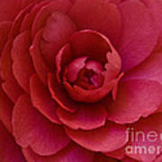 Red Camellia Poster