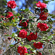 Red Camellias And Blue Sky Poster