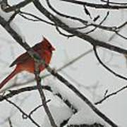 Red Cardinal On Snow Covered Tree Limb Poster