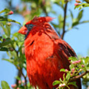 Red Cardinal Pink Blooms Poster