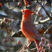 Red Cardinal Pose Poster