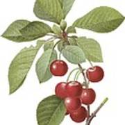 Red Cherry Poster
