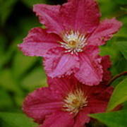 Red Clematis Flowers Poster