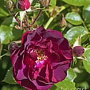 Red Climbing Rose Poster