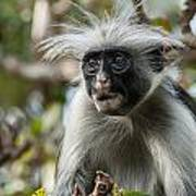 Red Colobus Poster