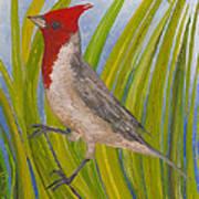 Red-crested Cardinal Poster by Anna Skaradzinska