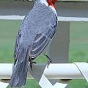 Red Crested Cardinal No 2 Poster