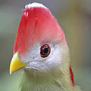 Red Crested Turaco Poster