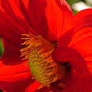 Red Dahlia Elegance Poster
