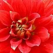 Red Dahlia Flower Poster