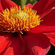 Red Dahlia Starlet Poster