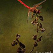 Red Dragonfly On A Dead Plant Poster