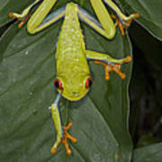 Red-eyed Tree Frog Costa Rica Poster