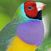 Red Faced Gouldian Finch Poster
