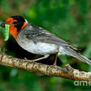 Red-faced Warbler With Caterpillar Poster