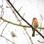 Red Finch In Snow Poster