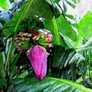 Red Flower Of A Banana Against Green Leaves Poster