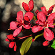 Red Flowering Crabapple Blossoms Poster
