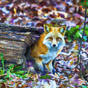 Red Fox At Home Poster