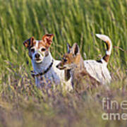 Red Fox Cub With Jack Russel Poster
