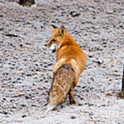 Red Fox Egg Thief Poster